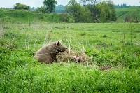 Свиньи в Плавске, Фото: 8