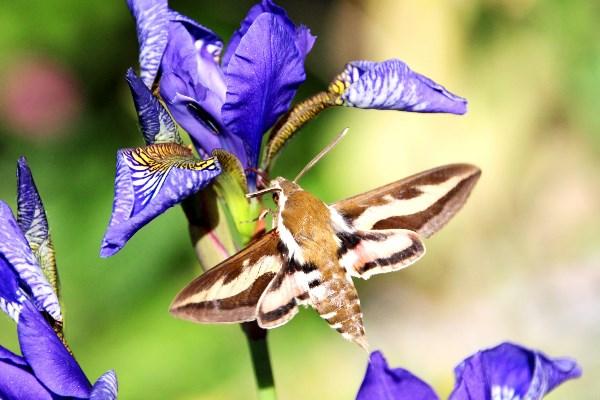 Почти колибри....( бабочка бражника)