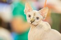"""Выставка """"Пряничные кошки"""". 15-16 августа 2015 года., Фото: 65"""