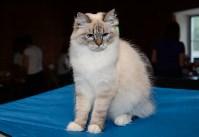 Выставка кошек в Искре, Фото: 75