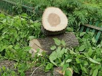 вырубка деревьев во дворе дома №33 по ул. Горького в Туле, Фото: 9