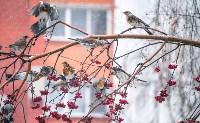 Дрозды-рябинники в Туле, Фото: 12