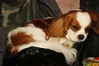 В Туле прошла всероссийская выставка собак, Фото: 19