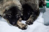 Выставка собак в Туле, Фото: 35