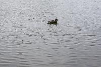 Туляки сообщают о массовой гибели уток в Платоновском парке, Фото: 2