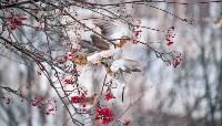 Дрозды-рябинники в Туле, Фото: 31