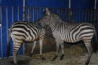 Цирк огромных зверей. Тула, Осиновая гора, 1, Фото: 11