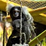 У мармозеток в Тульском экзотариуме родился малыш, Фото: 1