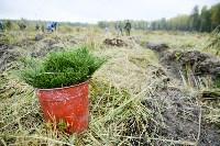 В Веневском районе высажено 24 тысячи сосен, Фото: 10
