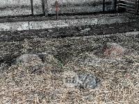 Чернский район, умерли 150 коров, Фото: 9