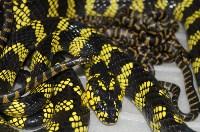 В Тульском экзотариуме на свет появились уникальные змейки бойги, Фото: 3