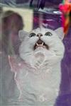 В Туле прошла международная выставка кошек «Зимнее конфетти», Фото: 11