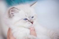 """Выставка """"Пряничные кошки"""". 15-16 августа 2015 года., Фото: 66"""