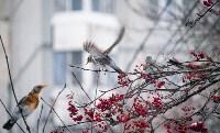 Дрозды-рябинники в Туле, Фото: 26