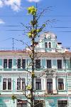 засохшие деревья на проспекте, Фото: 7
