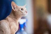 Международная выставка кошек. 16-17 апреля 2016 года, Фото: 30