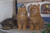 Выставка кошек в ГКЗ. 26 марта 2016 года, Фото: 35