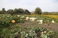 Гигантские тыквы из урожая семьи Колтыковых, Фото: 1