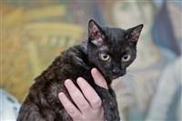 В Туле прошла международная выставка кошек «Зимнее конфетти», Фото: 15
