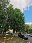 В Туле гибнут деревья, Фото: 61