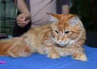 Выставка кошек в Туле, Фото: 14