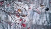 Дрозды-рябинники в Туле, Фото: 34