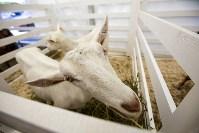 Выставка коз в Туле, Фото: 2