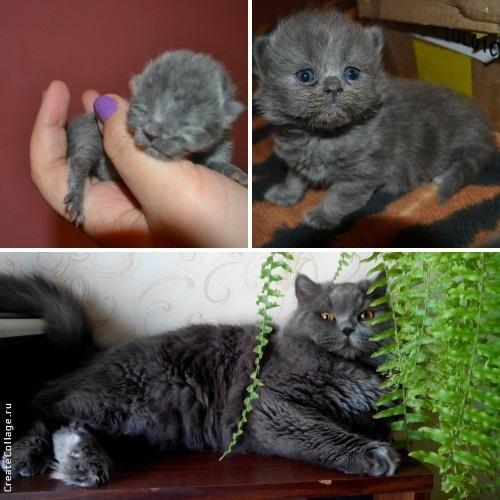 Пушок родился весом в 41 грамм! Теперь весит 6 кг! Плюшевый британчик, сынуля моей кошечки) Вот такие они вырастают.
