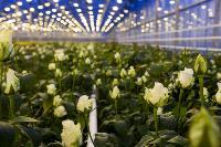 Миллион разных роз: как устроена цветочная теплица, Фото: 27