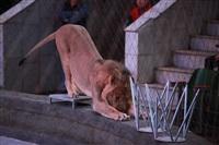 Новая программа в Тульском цирке «Нильские львы». 12 марта 2014, Фото: 21