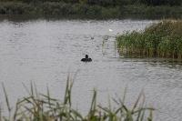 В Туле спасли лебедя с одним крылом, Фото: 13