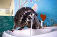 Тульское Шоу ручных енотов: «Из-за карантина нам нужна помощь туляков», Фото: 46