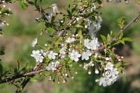 В сквере «Тульское чаепитие» зацвела вишня, Фото: 1