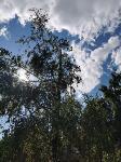 В Туле гибнут деревья, Фото: 46
