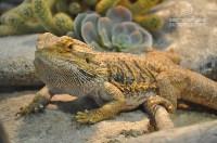 Ящерицы в Тульском экзотариуме, Фото: 1