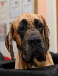 """Выставки собак в ДК """"Косогорец"""", Фото: 5"""