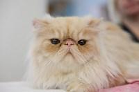 Выставка кошек в Туле, Фото: 72