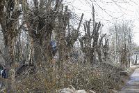 Кронирование деревьев в Туле: что можно, а чего нельзя?, Фото: 15