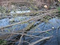 Спиленные деревья в ручье березовой рощи, Фото: 2