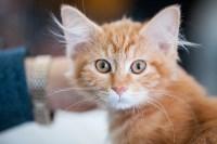 Международная выставка кошек. 16-17 апреля 2016 года, Фото: 80