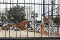 Тигры в городе!, Фото: 1
