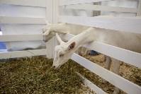 Выставка коз в Туле, Фото: 20