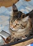 В Туле прошла международная выставка кошек, Фото: 14