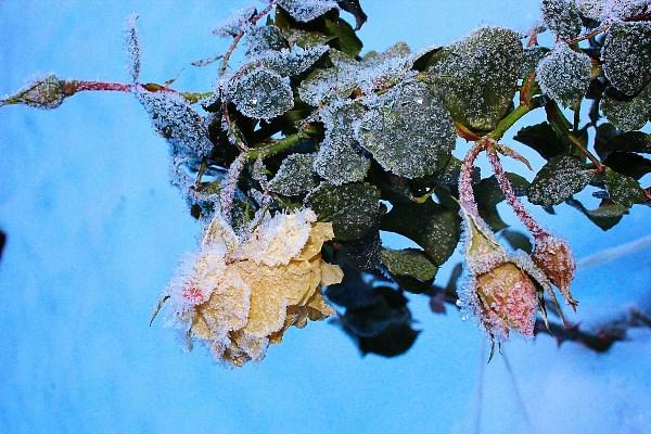 Белые розы - беззащитны шипы(с)