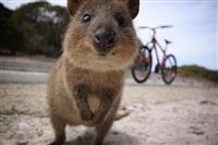 Квокка - самое счастливое существо на планете, Фото: 4