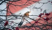 Дрозды-рябинники в Туле, Фото: 15