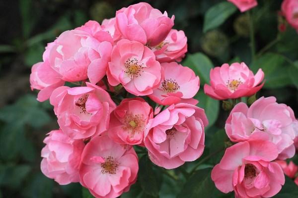 не люблю розовый..... терплю только у цветов. а у розочки имя под стать расцветке - Анжела