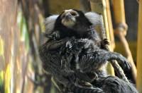 У мармозеток в Тульском экзотариуме родился малыш, Фото: 5