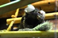 У мармозеток в Тульском экзотариуме родился малыш, Фото: 6