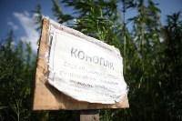 Поле конопли под Тулой, Фото: 8